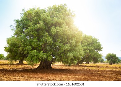Olive plantation with old olive tree in the Apulia region of Italy