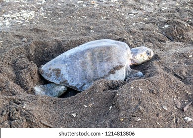 An olive ridley (Lepidochelys olivacea) sea turtle digging an egg chamber for laying eggs at Ostional Wildlife Refuge in Costa Rica, one of turtle Nesting activity.