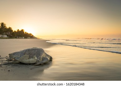 Olive ridley sea turtle returning to the ocean