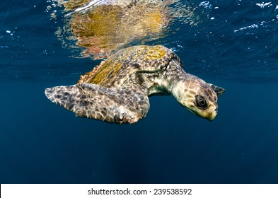An olive ridley sea turtle swims in the Pacific ocean off Costa Rica's Corcovado peninsula