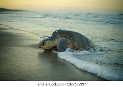 Olive ridley turtle going out of the sea to lay eggs