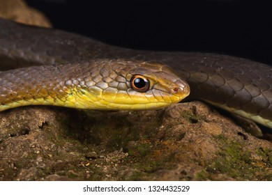 Olive sand snake (Psammophis mossambicus)