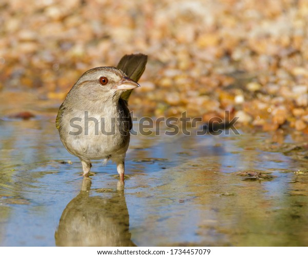 Olive Sparrow at water's edge in South Texas