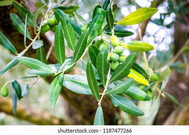 Olive tree before the harvest