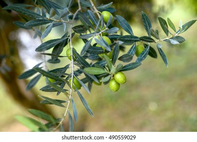 olive tree branch with berries