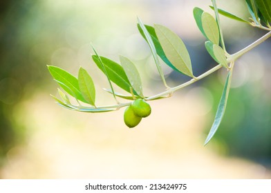 Olive tree branch with fresh growing olives