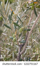 Olive tree branch with fruits.