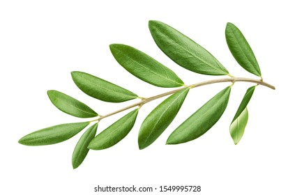 Olive tree branch with green leaves isolated on white background with clipping path
