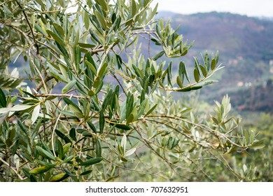 Olive tree branch in the tuscan hills during winter season in the countryside