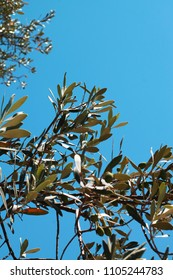 Olive tree close up in the sky. Olive branch with leaves and green olives.