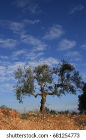 Olive tree and cloudy skies in Ramallah Palestine.