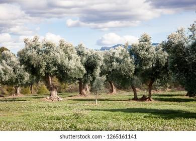 Olive tree field. Teruel province