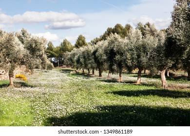 Olive Tree field. Teruel province. Spain