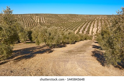 Olive tree fields in Andalusia. Spanish agricultural harvest landscape. Jaen