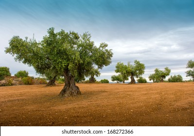 Olive tree fields with red soil