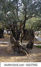 Olive tree in Garden of Gethsemane. Garden of Gethsemane.