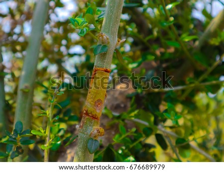 Olive Tree Grafting Parts Different Plants Stock Photo (Edit Now ...