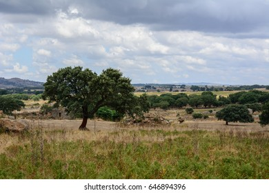 Olive tree in a green field with more olive trees in the background. Shot in Sardinia, Italy. Nobody in the scene.