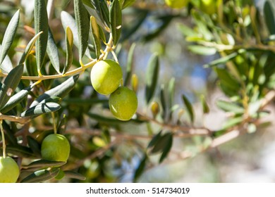Olive tree with green olives