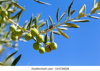 Olive tree with green olives on blue sky background