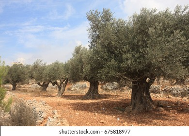 Olive tree grove in Jifna village near Ramallah, Palestine. Olive trees have a great sentimental and economic value to Palestinians being a source of income and a symbol of steadfastness.