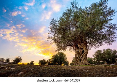 Olive tree grown by monks of Mar Elias Monastery for olive oil, with beautiful dramatic susnset clouds, Jerusalem Israel