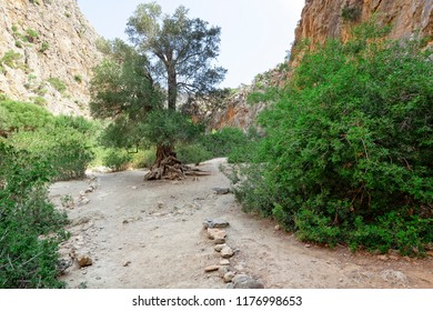 Olive tree inside the Agiofarango canyon, island of Crete, Greece