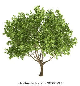 olive tree isolated