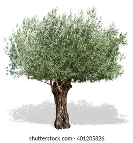 Olive tree isolated on a white background. Clipping path.