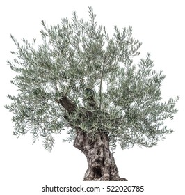 Olive tree isolated on a white background.