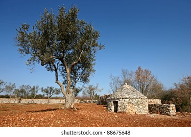 Olive tree and the Istrian shelter kazun