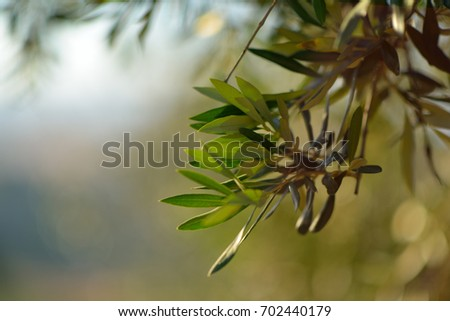 Olive Tree Italy Harvesting Time Sunset Stock Photo (Edit Now ...