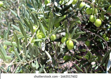 Olive Tree Leaves Closeup Green Eco Healthy Product Background
