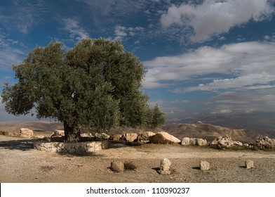 olive tree in the mountains