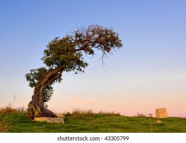 Olive tree (Olea)