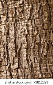 Olive tree (Olea europaea) bark background texture pattern.