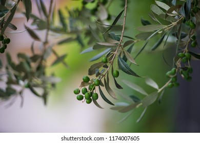 Olive tree with olives close-up. Rural agriculture background