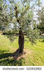 Olive Tree on a green meadow
