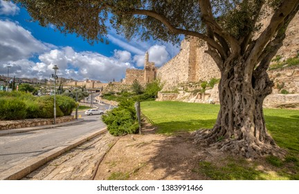 An olive tree on the outskirts of the old city of Jerusalem, Israel