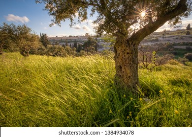 An olive tree on the slopes of Mount of Olives in east Jerusalem with the Temple Mount in the distance.