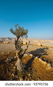 Olive Tree on the Slopes of the Mountains of Samaria, Israel