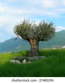 Olive tree on Swiss mountains background, in Lugano, Switzerland