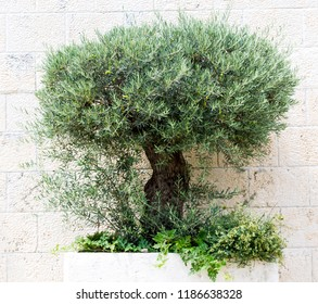olive tree on wall background