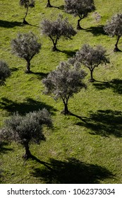 olive tree in the open