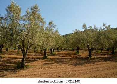Olive tree orchard - northern greece