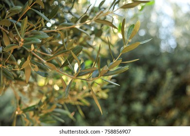 Olive tree outdoors