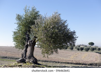 Olive tree in Pinto. Madrid. Spain. Europe.