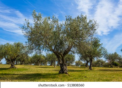 Olive tree plantation.