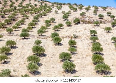 Olive tree plantation on the island of Crete, Greece