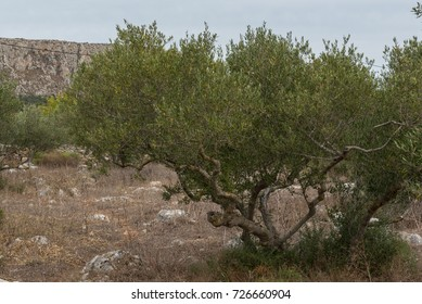 Olive tree in a rocky field.
